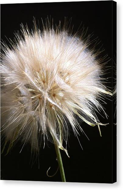 Bad Hair Day Canvas Print by Stephanie Aarons