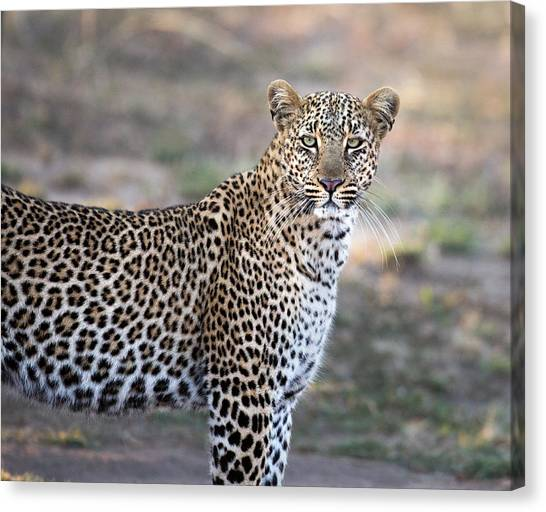 Bahati The Leopard In The Masai Mara Canvas Print