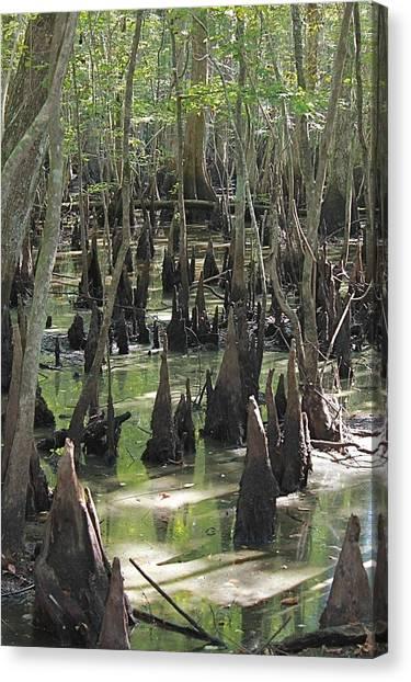 Bald Cypress Trees Canvas Print