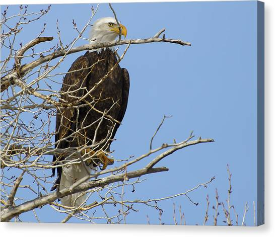 Bald Eagle And Branches 2 Canvas Print
