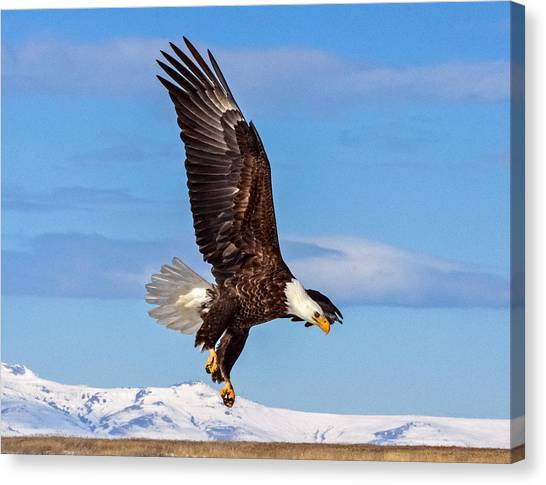 Bald Eagle Comming Down Canvas Print