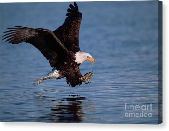 Predation Canvas Print - Bald Eagle Fishing Kenai Peninsula by Yva Momatiuk John Eastcott
