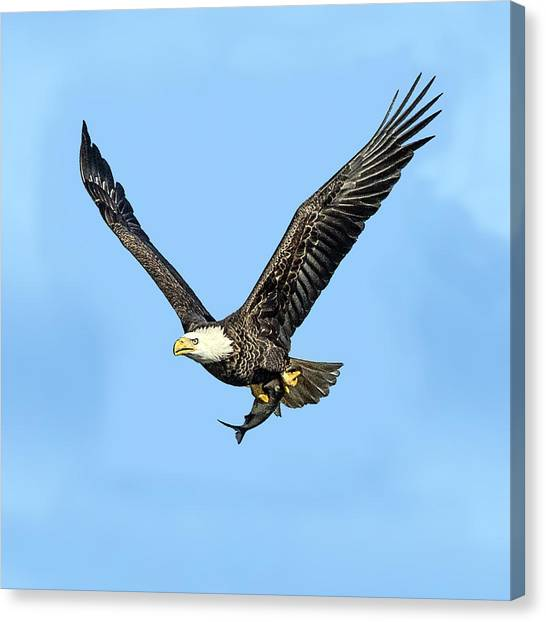 Bald Eagle Flying Holding Freshly Caught Fish Canvas Print