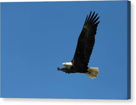 Eagle In Flight Canvas Print - Bald Eagle In Flight by Dr P. Marazzi/science Photo Library