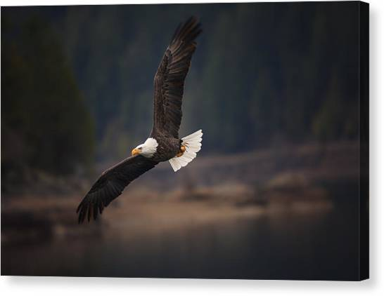 Inland Canvas Print - Bald Eagle In Flight by Mark Kiver
