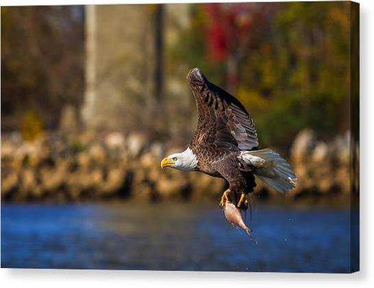 Bald Eagle In Flight Over Water Carrying A Fish Canvas Print