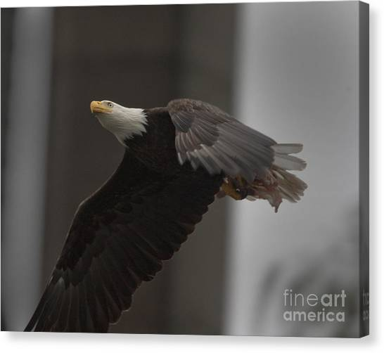 Bald Eagle In Flight Canvas Print