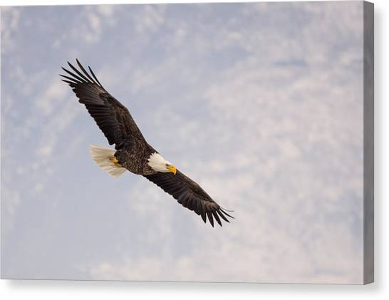 Bald Eagle In Full Extension Canvas Print