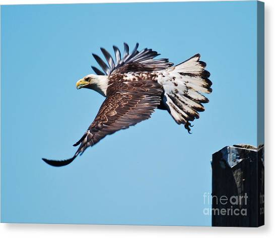 Bald Eagle In Ucluelet Canvas Print