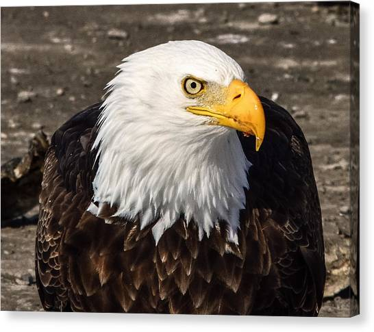 Bald Eagle Looking At You Canvas Print