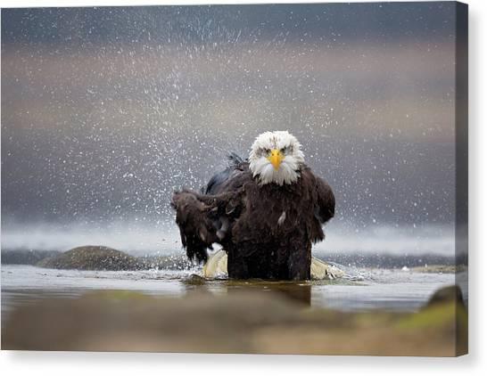 Eagles Canvas Print - Bald Eagle by Milan Zygmunt