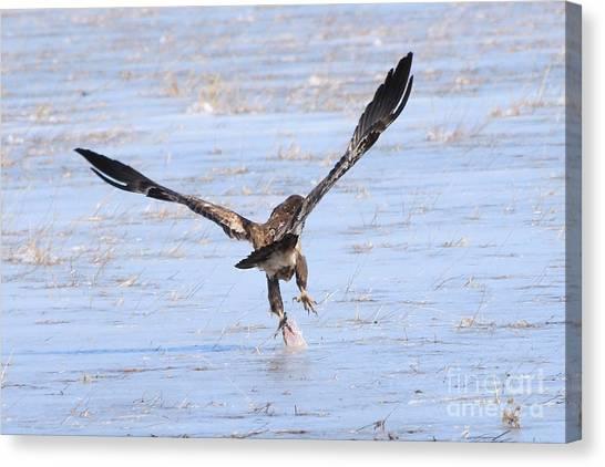 Canvas Print - Bald Eagle Picking Something Up by Lori Tordsen