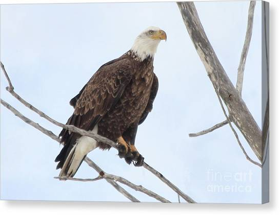 Canvas Print - Bald Eagle Sitting On Small Limb by Lori Tordsen