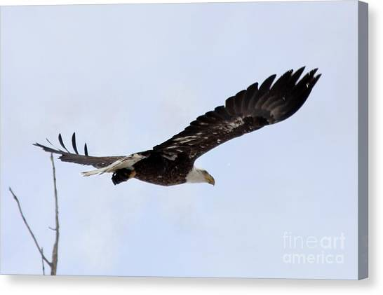 Canvas Print - Bald Eagle Soaring In The Sky by Lori Tordsen