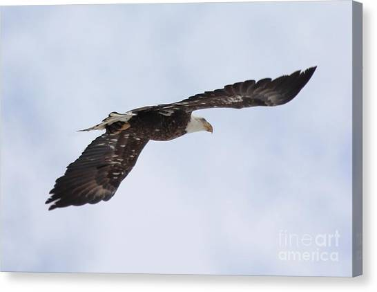 Canvas Print - Bald Eagle Soaring by Lori Tordsen