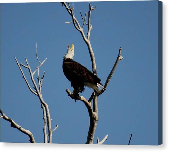 Bald Eagle Talking Canvas Print