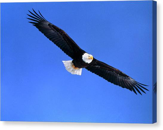 Eagle In Flight Canvas Print - Bald Eagle by William Ervin/science Photo Library