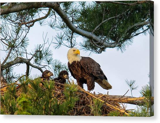 Bald Eagle With Eaglets  Canvas Print