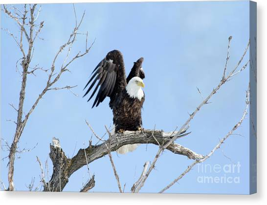 Canvas Print - Bald Eagle With Wings Pulled Up by Lori Tordsen
