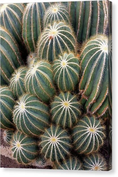 Ball Cactus (parodia Magnifica) Canvas Print by Daniel Sambraus/science Photo Library