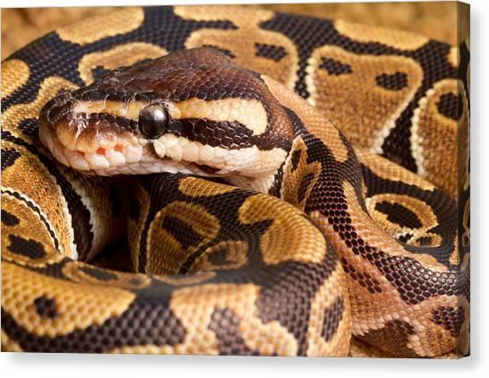 Ball Pythons Canvas Print - Ball Python Python Regius Close by David Kenny