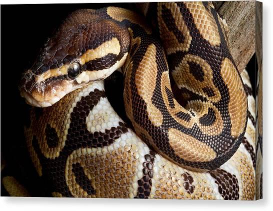 Ball Pythons Canvas Print - Ball Python Python Regius by David Kenny