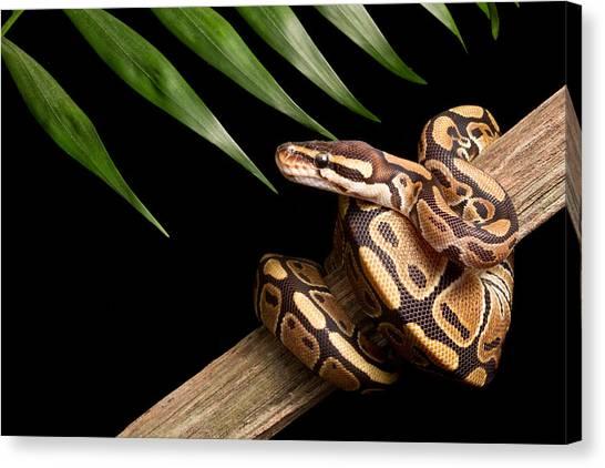 Ball Pythons Canvas Print - Ball Python Python Regius On Branch by David Kenny