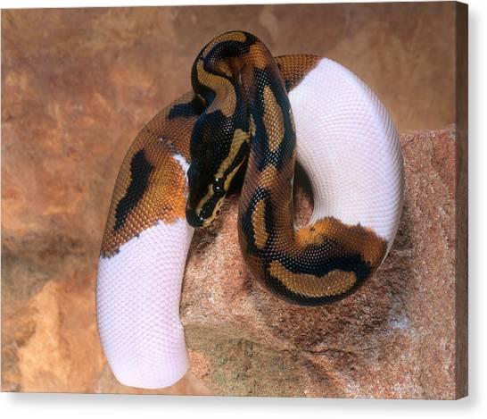 Ball Pythons Canvas Print - Ball Python by Steve Cooper