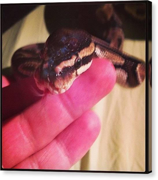 Pythons Canvas Print - #ballpython #ballpythonart #pet #python by Jordan Marcia