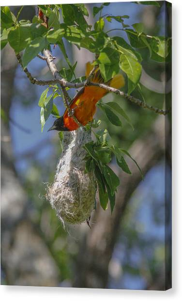 Baltimore Oriole And Nest Canvas Print by Jill Bell