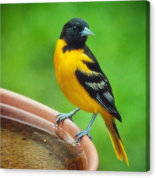 Birds Canvas Print - Baltimore Oriole  by Heidi Hermes