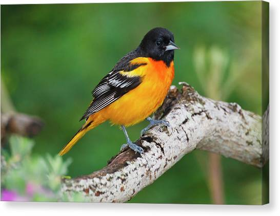 Baltimore Orioles Canvas Print - Baltimore Oriole Foraging by Larry Ditto