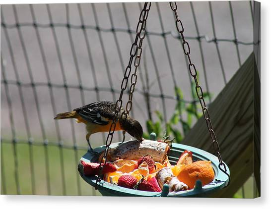 Baltimore Oriole Fruitplate Canvas Print by Margo Miller