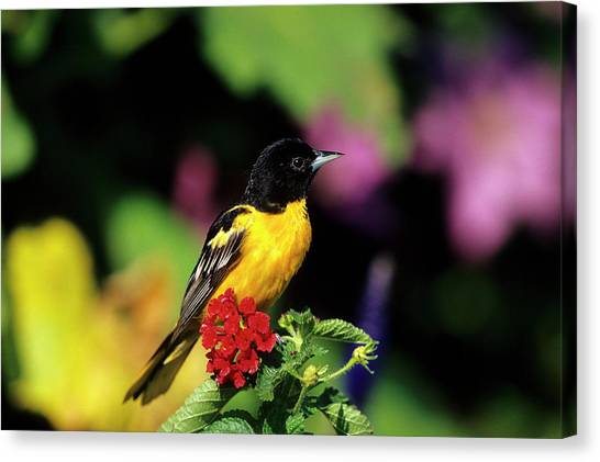 Orioles Canvas Print - Baltimore Oriole (icterus Galbula by Richard and Susan Day
