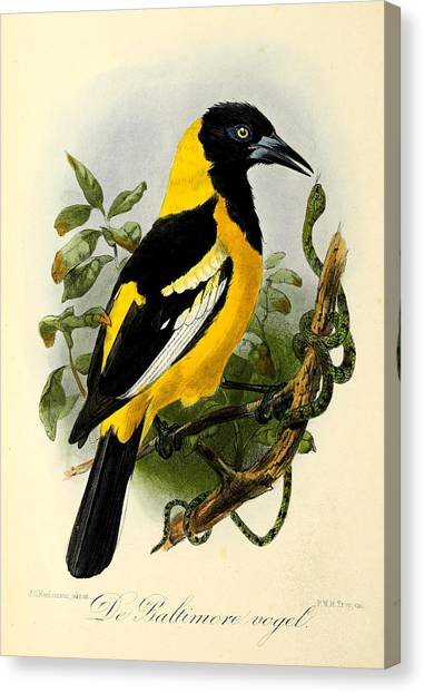 Orioles Canvas Print - Baltimore Oriole by Dreyer Wildlife Print Collections