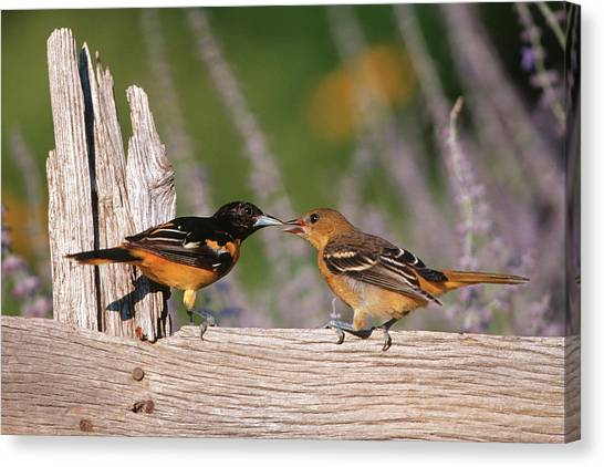 Baltimore Orioles Canvas Print - Baltimore Orioles (icterus Galbula by Richard and Susan Day