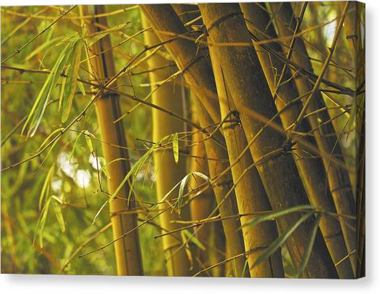 Bamboo Gold Canvas Print