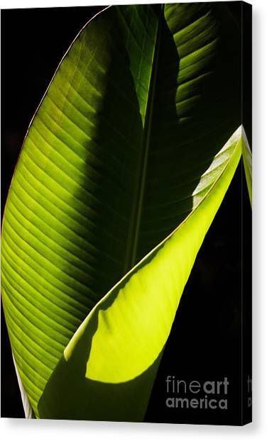 Banana Tree Canvas Print - Banana Leaf by Nick  Biemans