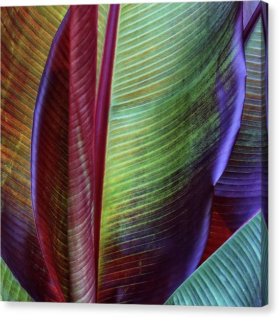 Banana Tree Canvas Print - Banana Skin by Francois Casanova