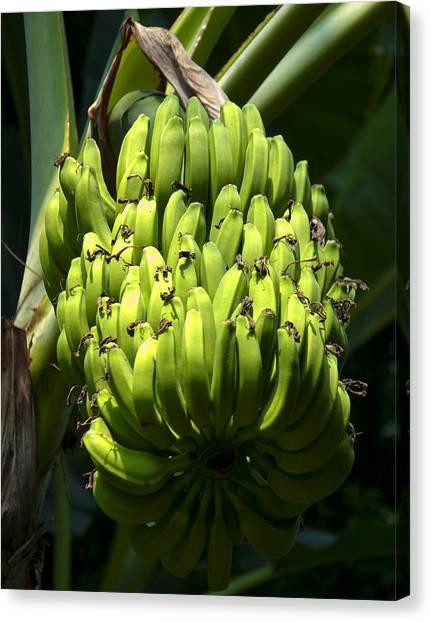 Banana Tree Canvas Print - Bananas On A Banana Tree by Chris Flees