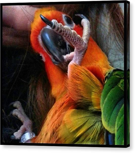 Parrots Canvas Print - Banby Bobbles Laying Back And Relaxing by Kevin Previtali