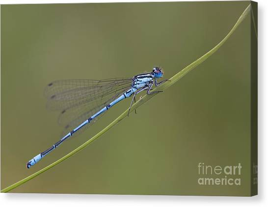 Demoiselles Canvas Print - Banded Agrion Damselfly by Frank Derer