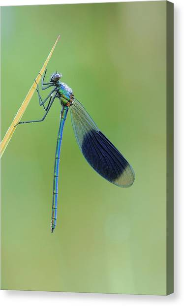 Demoiselles Canvas Print - Banded Demoiselle Damselfly by Science Photo Library