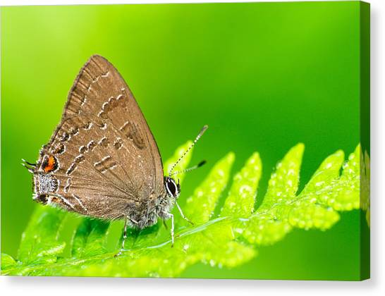 Banded Hairstreak Butterfly Canvas Print