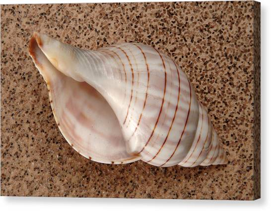 Banded Tulip Shell Canvas Print