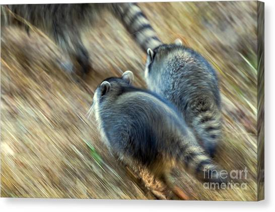 Canvas Print featuring the photograph Bandits On The Run by Kate Brown
