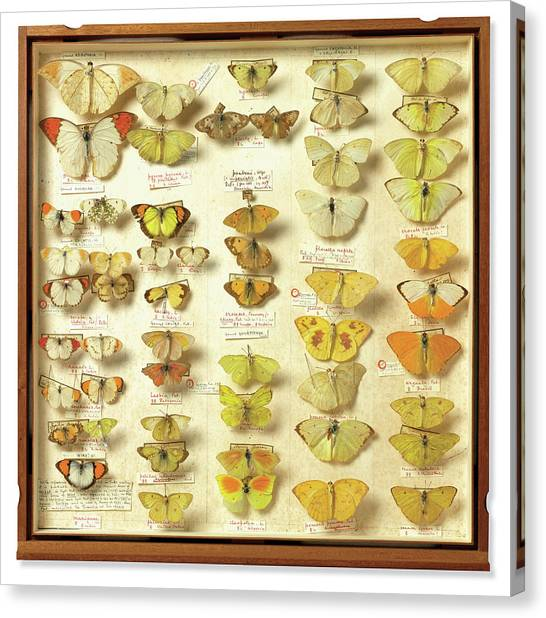 The British Museum Canvas Print - Banks Insect Collection by Natural History Museum, London/science Photo Library