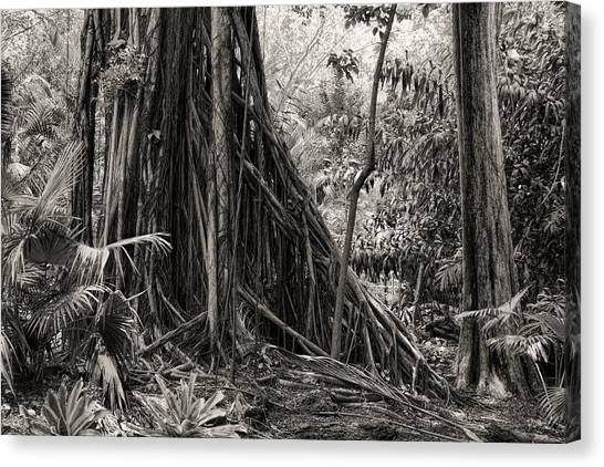 Strangler Fig And Cypress Tree Canvas Print