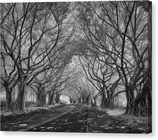 Banyan Tree Lined Road Canvas Print