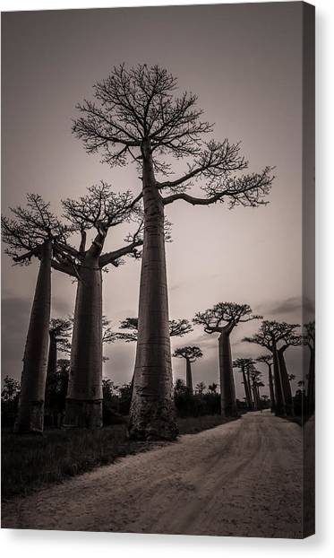 Baobab Avenue Canvas Print